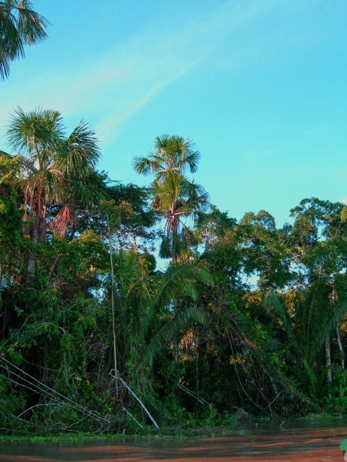 Amazon Jungle on the banks of an Amazon tributary in Loreto Province