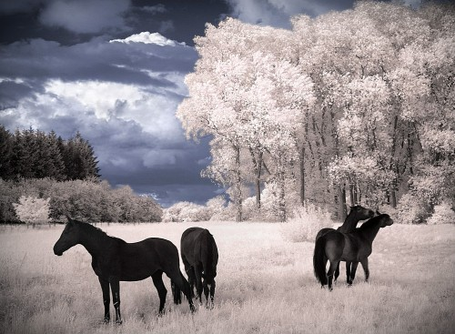 Horses Dreams infrared