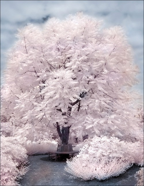 Magic Tree II infrared